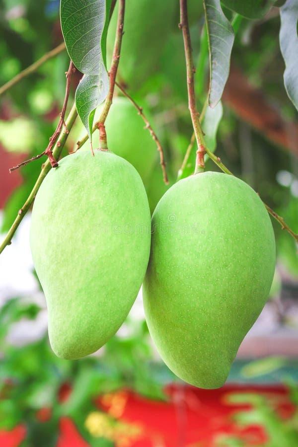 两垂悬在树,自然热带水果的未加工的芒果 免版税库存照片