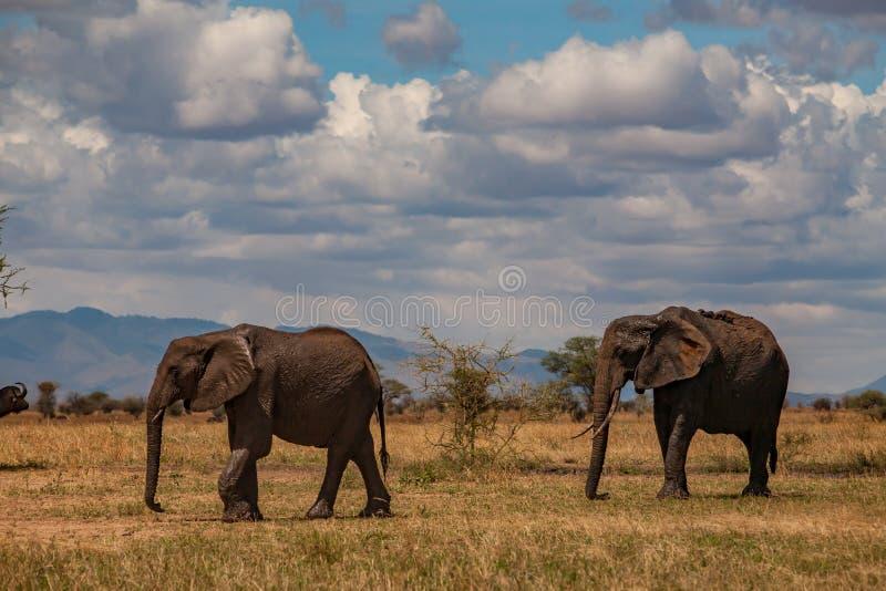 两大象在塔兰吉雷国家公园 库存照片