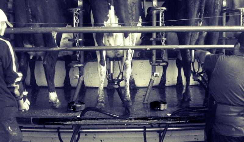 两头人奶牛 免版税库存图片
