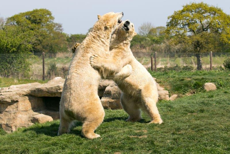 两头北极熊演奏战斗 免版税库存照片