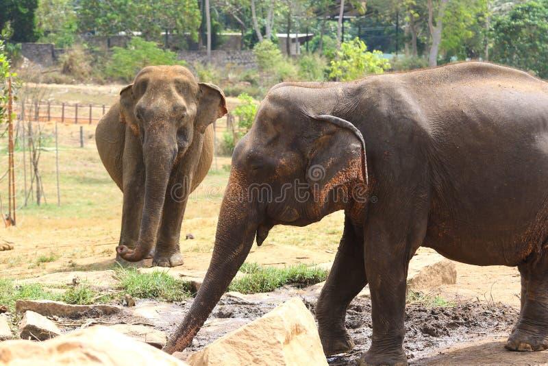 两头大象在Pinnawala孤儿院斯里兰卡 库存照片