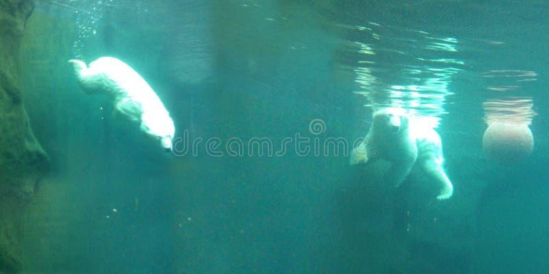 两头明亮的北极熊在绿松石水域中游泳与球水中 免版税库存照片