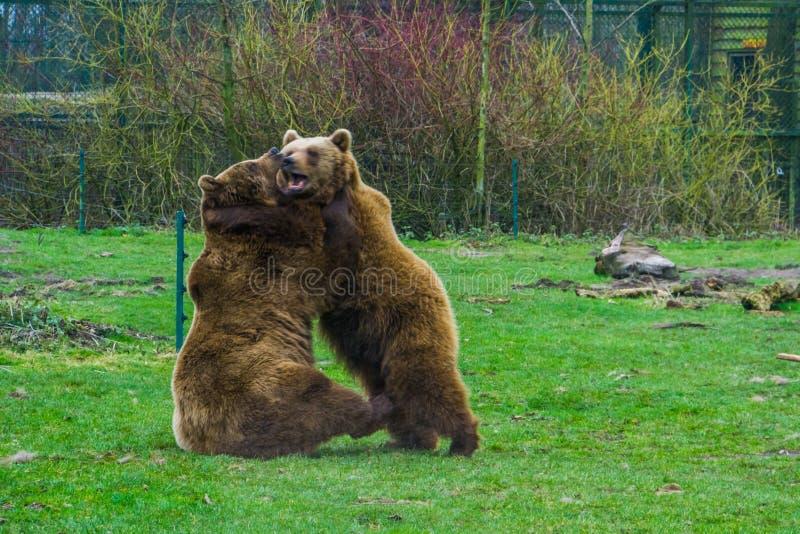 两头棕熊战斗互相的,积极的动物行为,好的传播动物通过欧亚大陆 库存图片