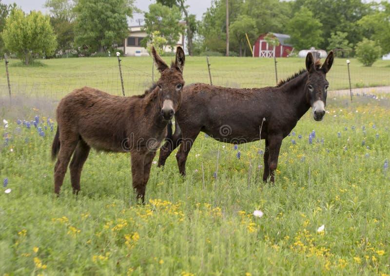 两头棕色驴在恩尼斯,得克萨斯 库存图片