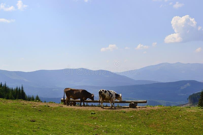 两头母牛喝在绿色草甸的水 库存图片