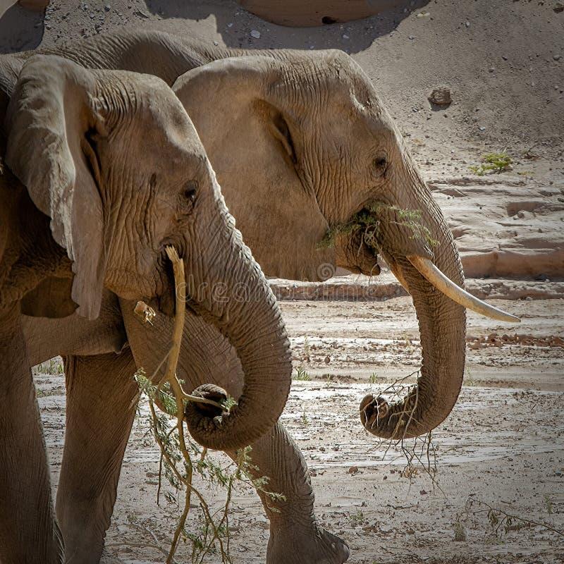两头沙漠大象 库存照片