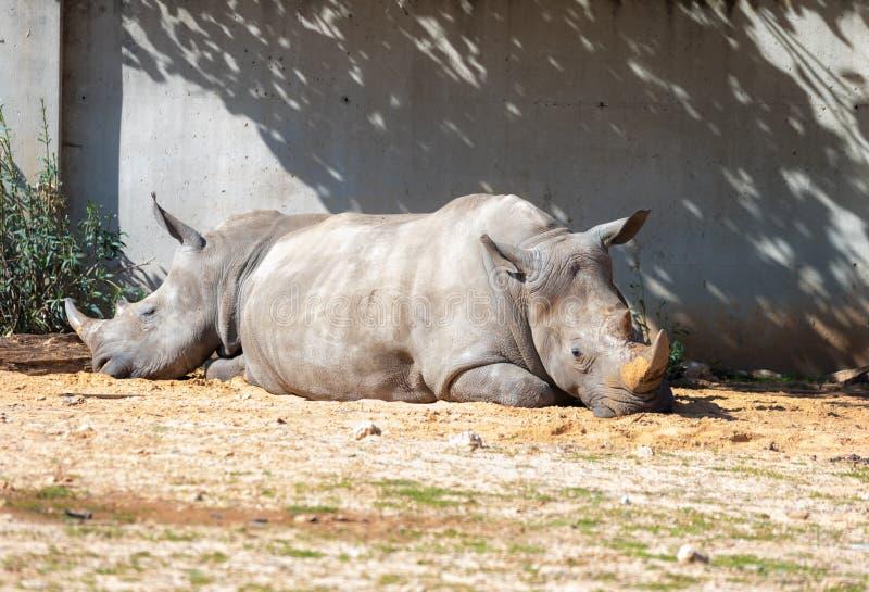 两头犀牛Rhinocerotidae是休息在阳光下在吃以后在徒步旅行队公园拉马干,以色列 免版税库存图片