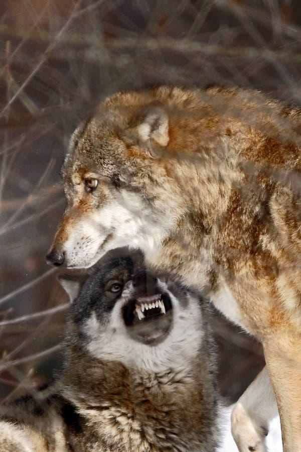 两头狼天狼犬座在冬天,吞下在雪的赛跑,与狼的有吸引力的冬天场面,美好的冬天风景 图库摄影