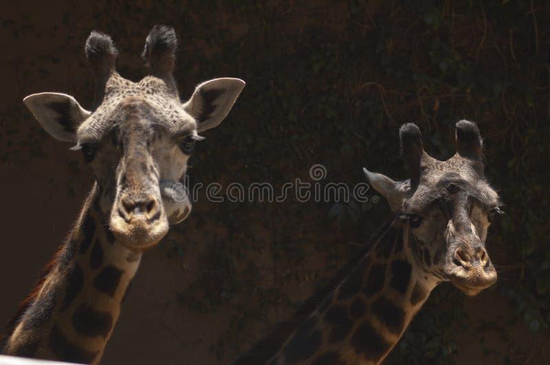 两头逗人喜爱的西非长颈鹿看照相机-洛杉矶动物园 库存图片