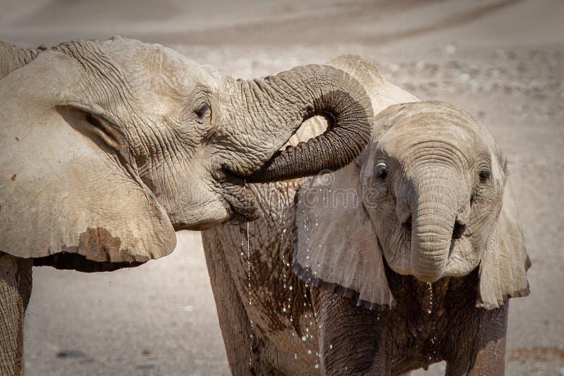 两头饮用的沙漠大象 免版税库存图片