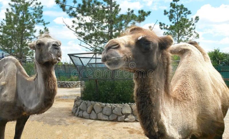 两头骆驼在动物园里 库存图片
