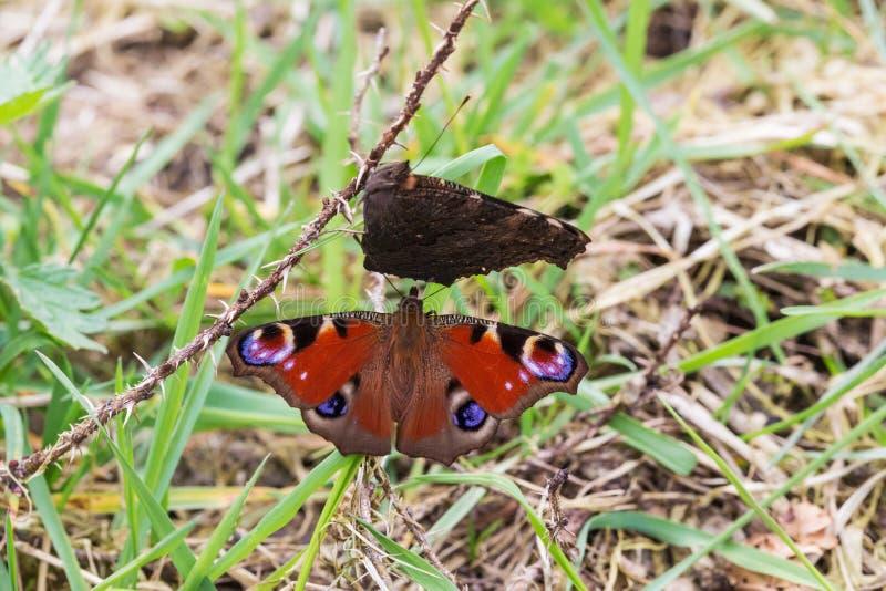两孔雀铗蝶 图库摄影