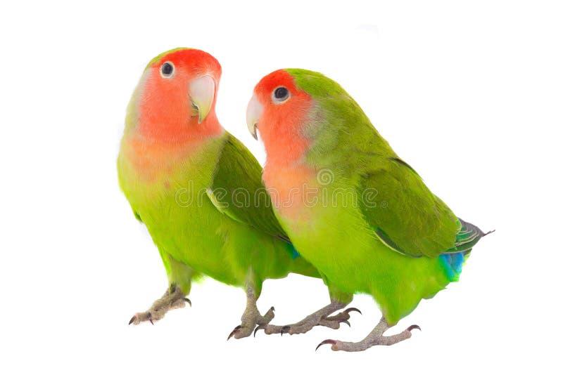 两对爱情鸟鹦鹉 库存图片