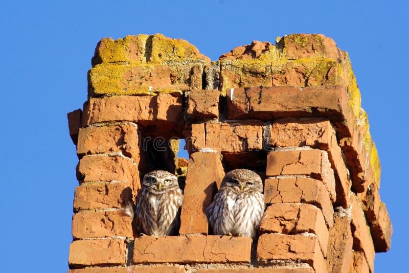 两小猫头鹰 库存图片