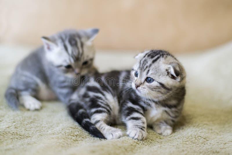 两小猫苏格兰人说谎在床上的折叠品种 免版税库存图片