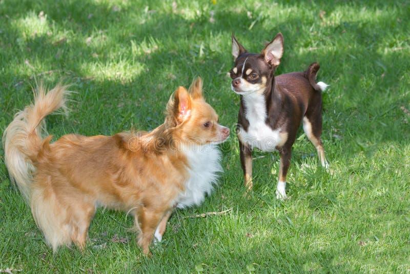两小的奇瓦瓦狗 库存图片