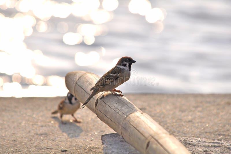 两小的欧亚树麻雀 免版税库存照片