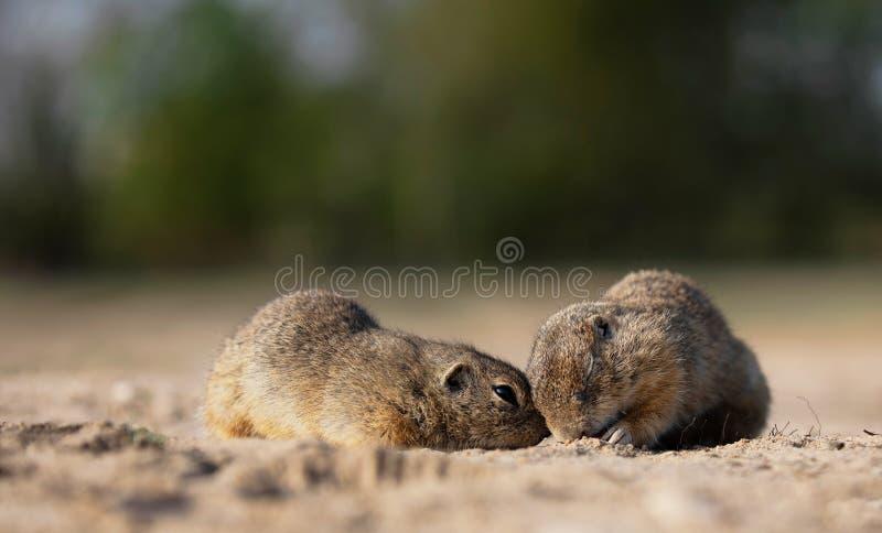 两小逗人喜爱的灰鼠一起使用 免版税库存图片