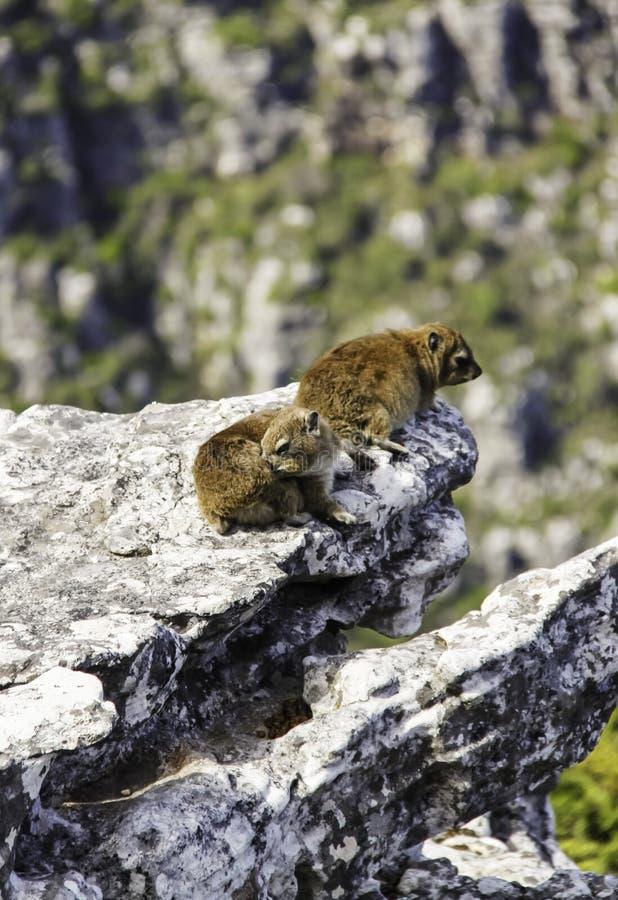 两岩石在桌山的非洲蹄兔dassie 免版税库存照片