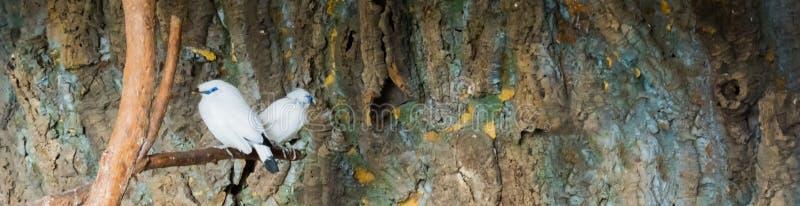 两巴厘岛myna椋鸟一起坐分支,危急地从印度尼西亚的危险的鸟 库存照片