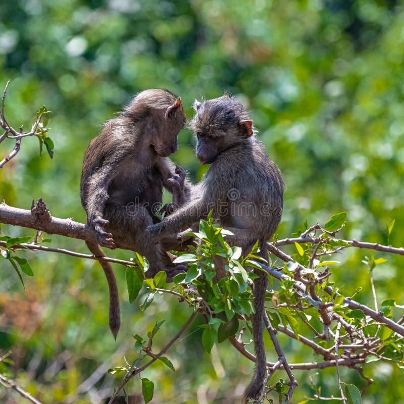 两年轻狒狒使用 免版税库存照片