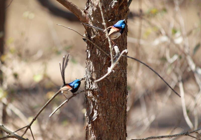 两张照片的构成被拍Supurb蓝色神仙的鹪鹩 免版税图库摄影