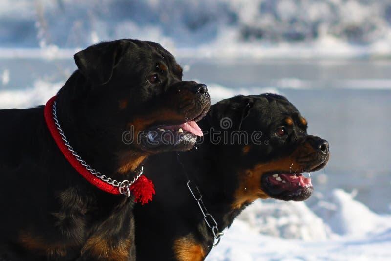 两强有力的狗品种走在s的冬天的Rottweiler 免版税图库摄影