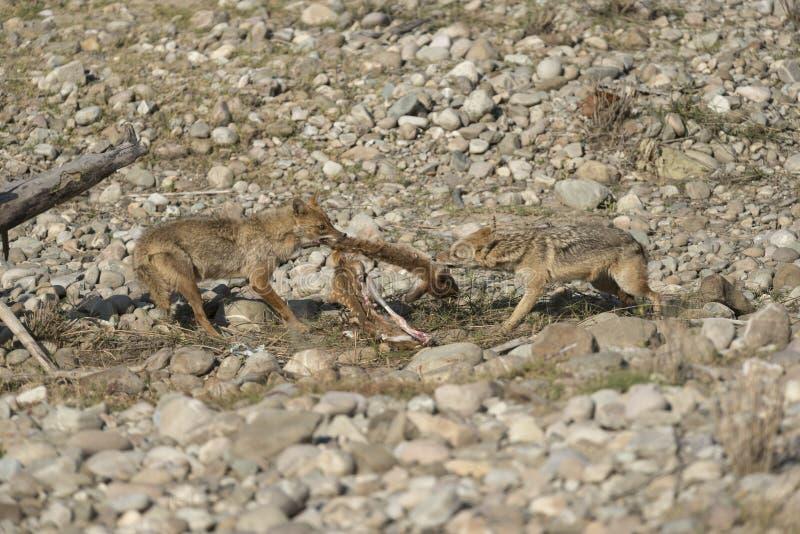 两战斗为杀害的狐狼 免版税库存照片