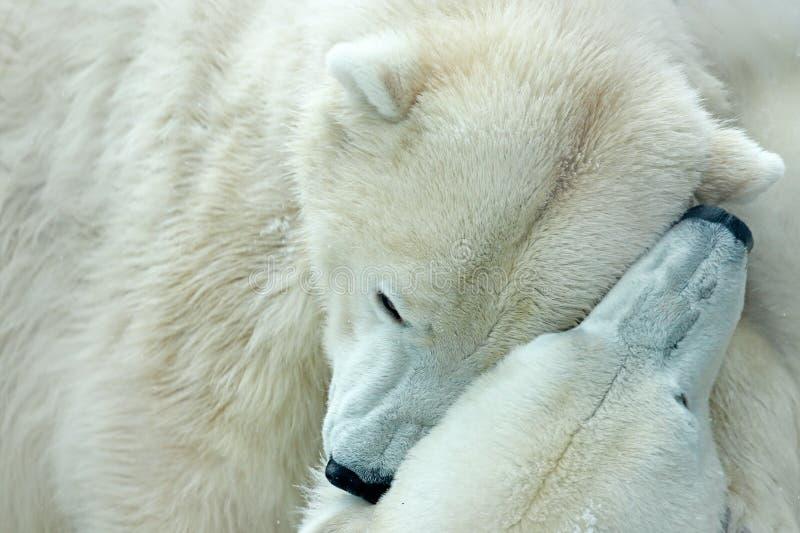 两战斗在流冰的北极熊在北极斯瓦尔巴特群岛 战斗细节  从北极的大危险动物 两熊头  Anim 库存照片