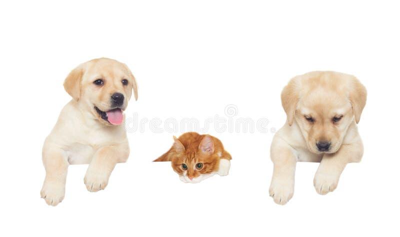 两拉布拉多小狗和红色猫 免版税库存图片