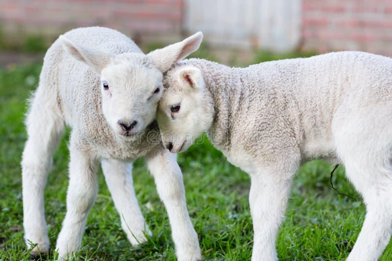 两拥抱和爱的白色羊羔 库存照片