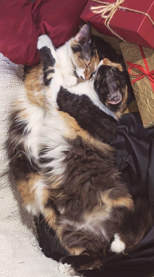 两拥抱在礼物盒附近的相似的睡觉猫 库存照片