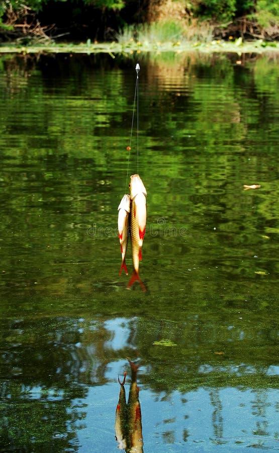 两捉住了在钓鱼竿的figh在湖表面背景  库存照片