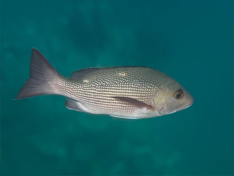 两斑点红鲷鱼在海水中钓鱼 免版税图库摄影