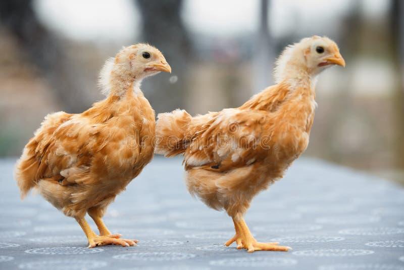 两新罕布什尔鸡年纪仅的几周 图库摄影