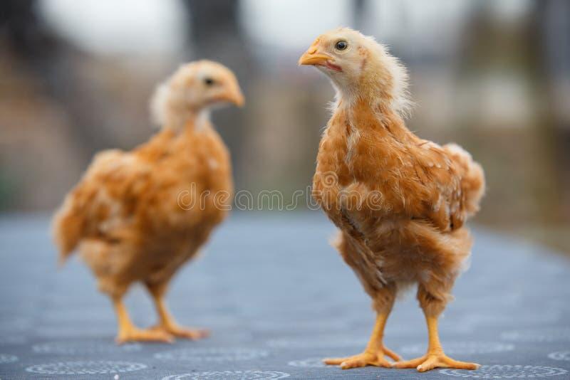 两新罕布什尔鸡年纪仅的几周 免版税库存图片