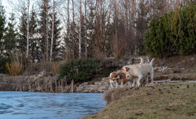 两明亮的黄色labradors猎犬和一个小猎犬 免版税库存照片