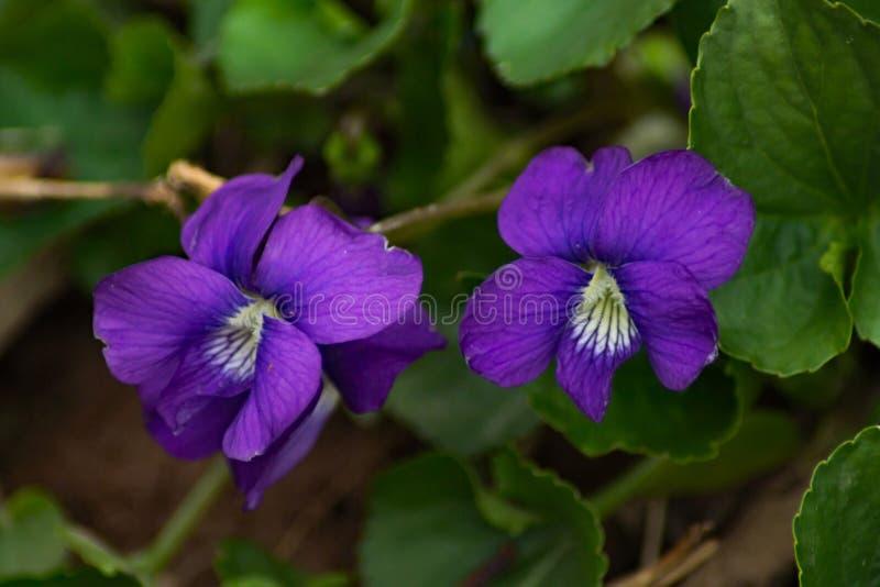 """两朵共同的蓝色紫罗兰†""""中提琴sororia 库存照片"""
