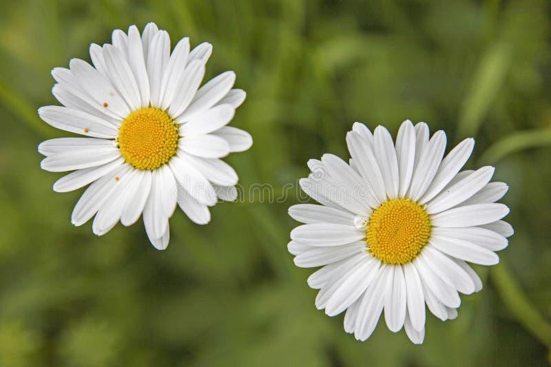 两朵延命菊花在夏天 库存照片
