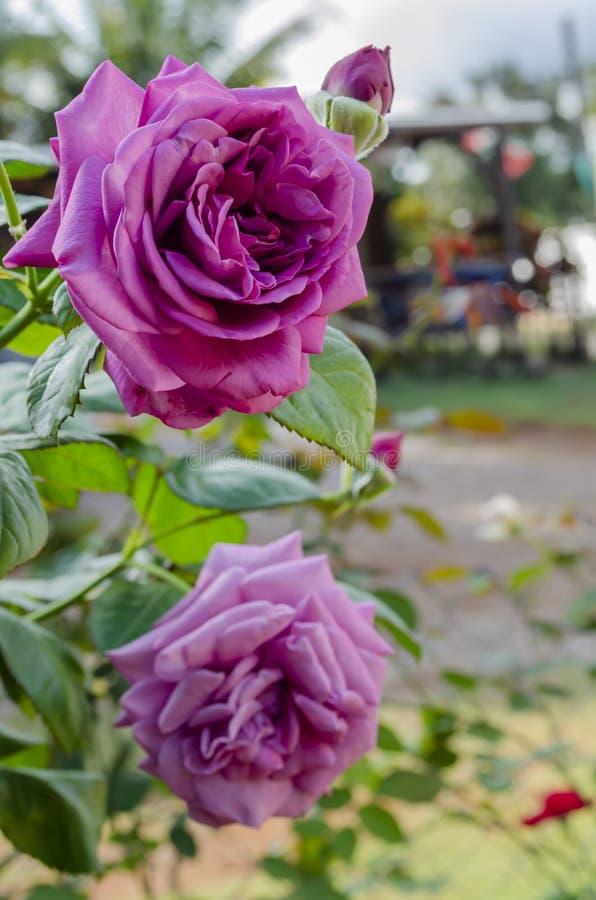 两朵开放香水月季花 库存图片