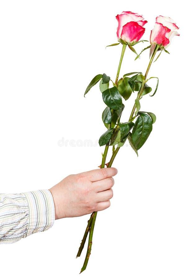 给两朵桃红色玫瑰的男性手被隔绝 库存图片