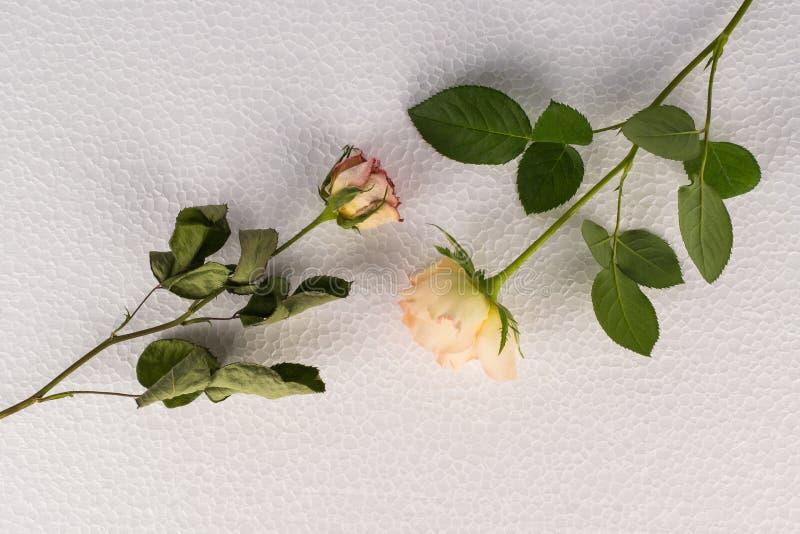 两朵玫瑰对比-新鲜的事先准备的花 库存照片