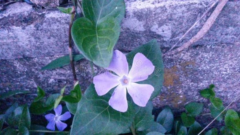两朵紫色花在生长在一个石墙上的植物中 免版税库存照片