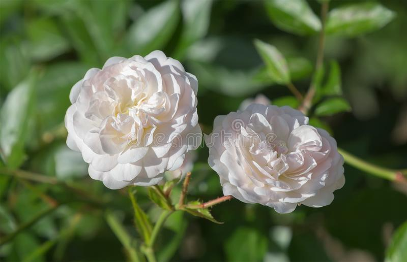 两朵美丽的淡粉红的玫瑰花 免版税图库摄影