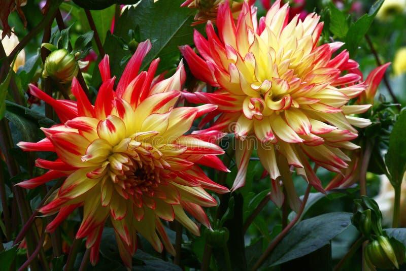 两朵花大丽花 图库摄影