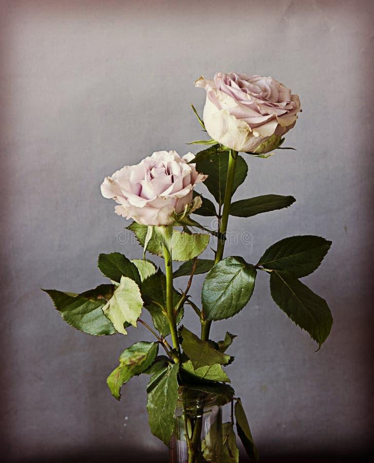 两朵葡萄酒玫瑰,静物画内部 库存照片