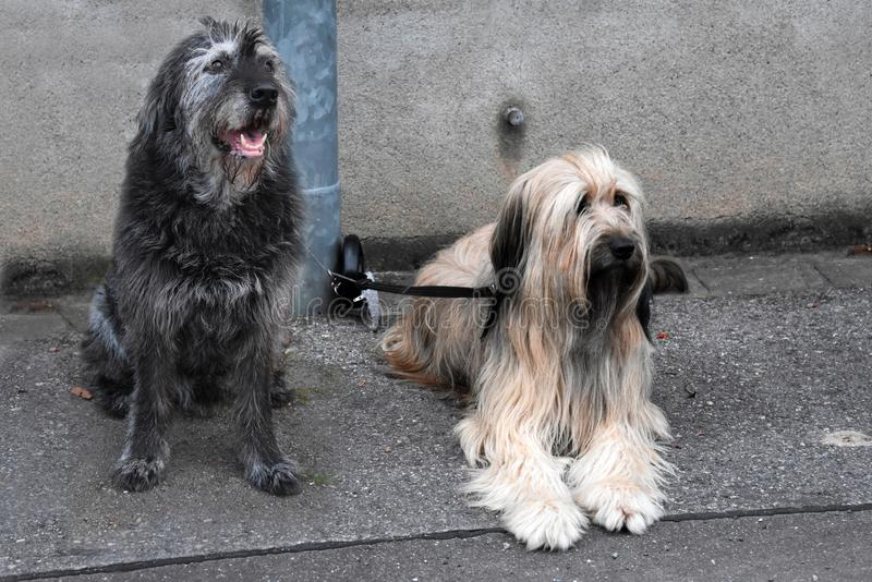 两条大狗,被栓对灯岗位,等待他们的所有者 库存照片