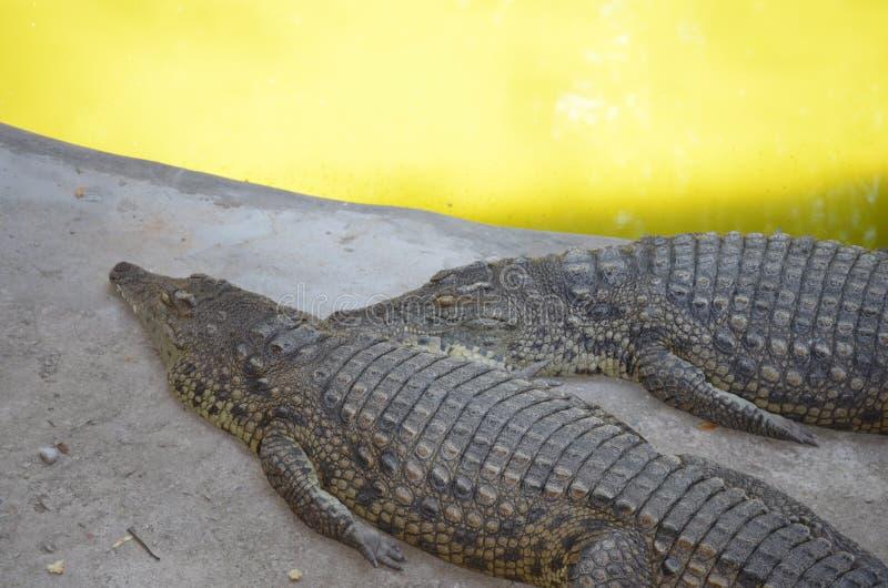 两条大鳄鱼在一个晴天睡觉在一个池塘附近在动物园里 免版税库存图片