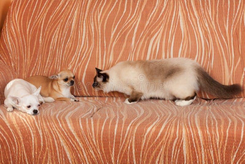 两条奇瓦瓦狗狗和封印点Birman猫在沙发说谎 库存照片