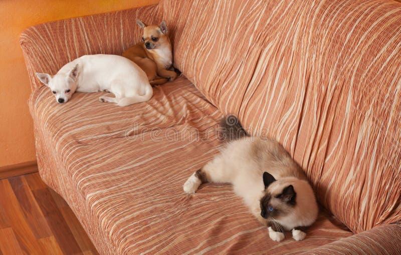 两条奇瓦瓦狗狗和封印点Birman猫在沙发说谎 库存图片